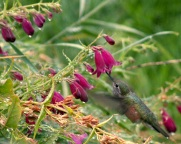 Hummingbird migration-07_edited-1