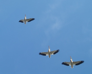 Pelicans fly in formation.