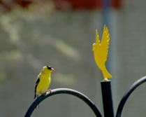 American goldfinch atop our feeder.