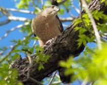 Female Cooper's Hawk has breakfast after raiding our bird feeders