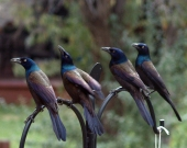 Great-tailed Grackles-3