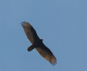 Turkey vultures are large dark birds. When they soar, they spread their wingtips.