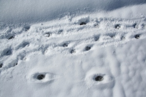 Dog prints at top of picture, coyote prints at bottom.
