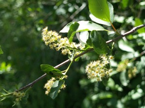 Chokecherry past flower. It took just four days for all the flowers to blossom and drop their petals.