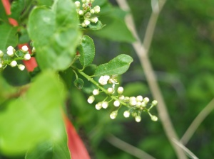 Chokecherry ready to bloom. Notice that the tiny flowers are still folded up on most of the blossoms.
