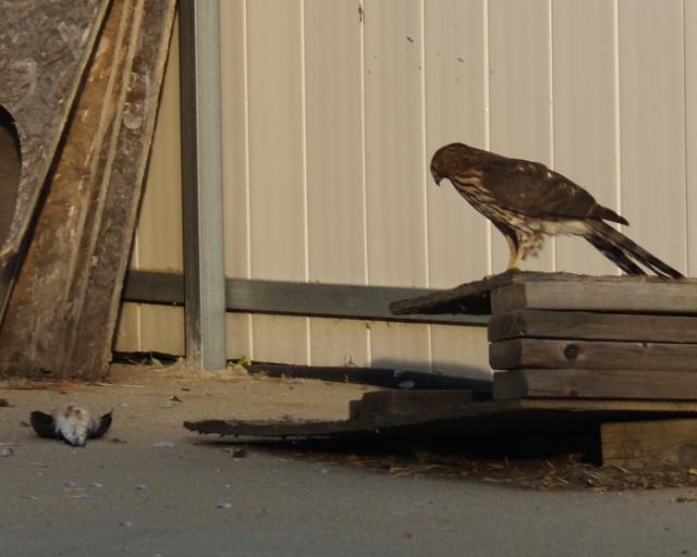 Juvenile Cooper's moves closer to kill.
