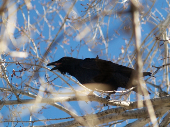 Angry raven landed in tree.