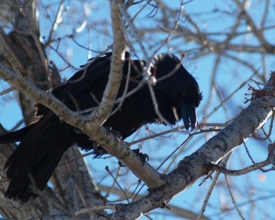 """Angry raven scolds our dog: """"Arg! Arg! Arg!"""" Erect head and neck feathers are a dominance display."""