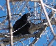 Young raven pulling at a twig.