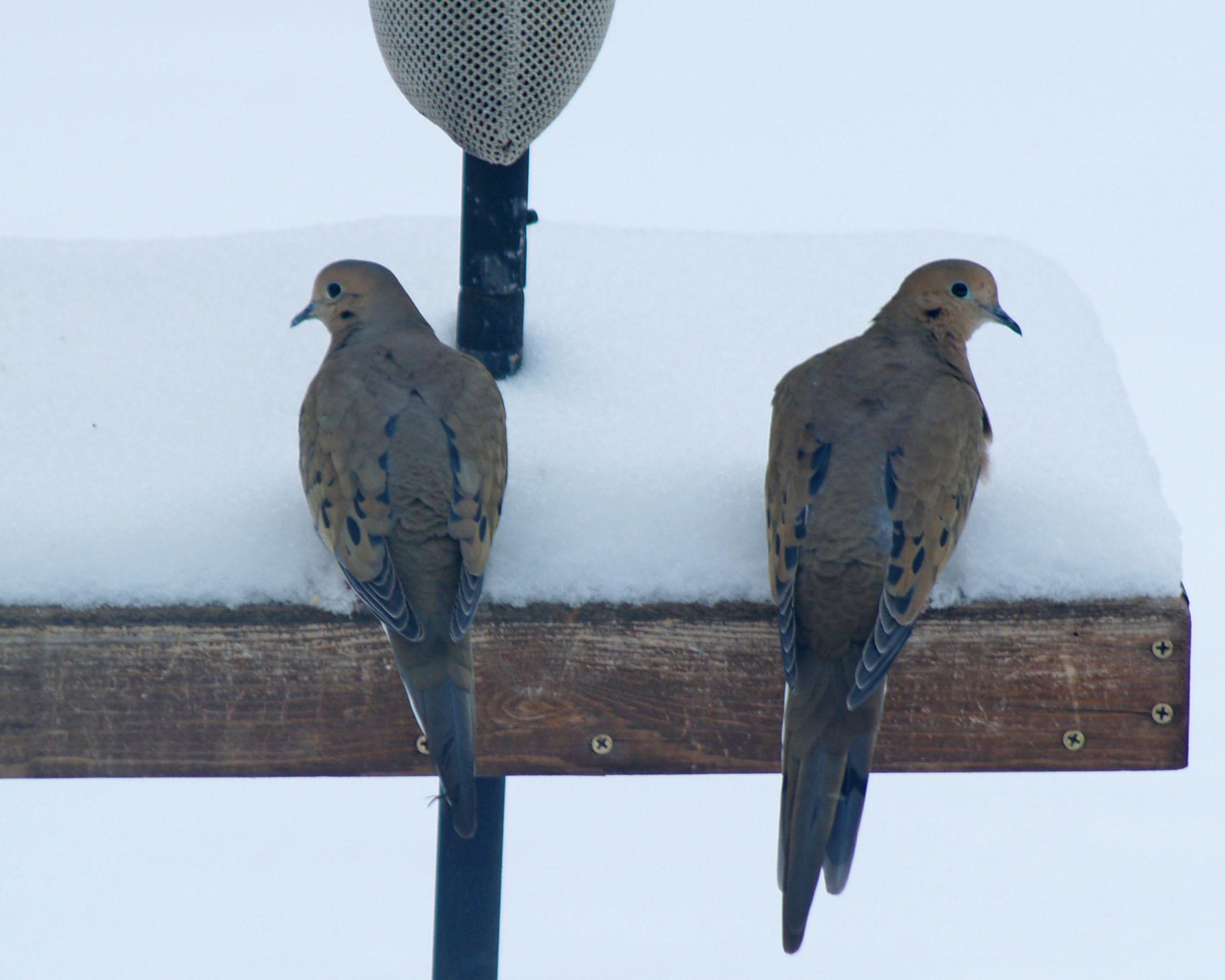 El pájaro de la paloma de luto - Backyard Birding