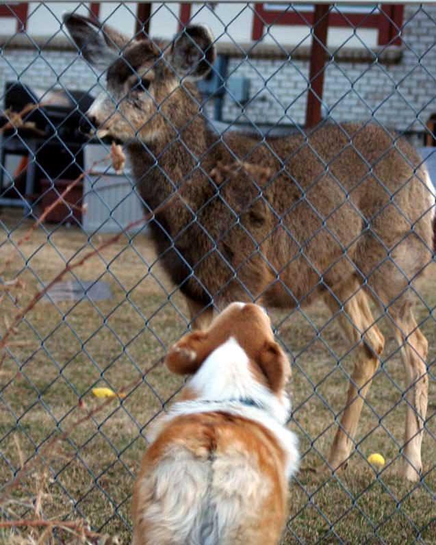 Corgi confronts mule deer through fence