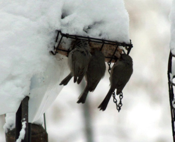 We don't normally have bushtits in our yard, but these bushtits clustered on our suet feeder one brutally cold morning in February 2013.