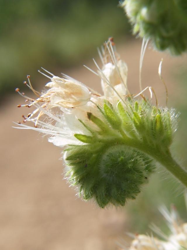Coiled scorpionweed flowers follow the Fibonacci sequence.