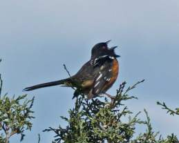 Singing spotted towhee_edited-1