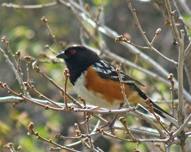 Spotted towhee in Gambel oak-07_edited-1
