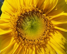Disk of the sunflowers is made up of spirals of flowers that follow the Fibonacci sequence.