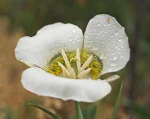 Mariposa lily-5