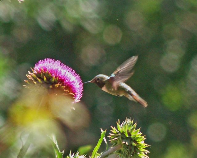 Male broadtailed hummingbird gets pollen from a bull thistle.