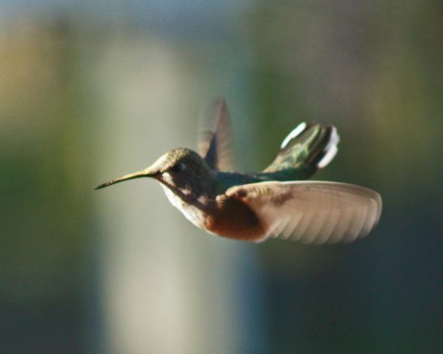 Female calliope flicking her tail while hovering.