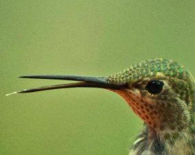 Male calliope hummingbird flicking out his tongue. Notice that he has lower eyelashes.