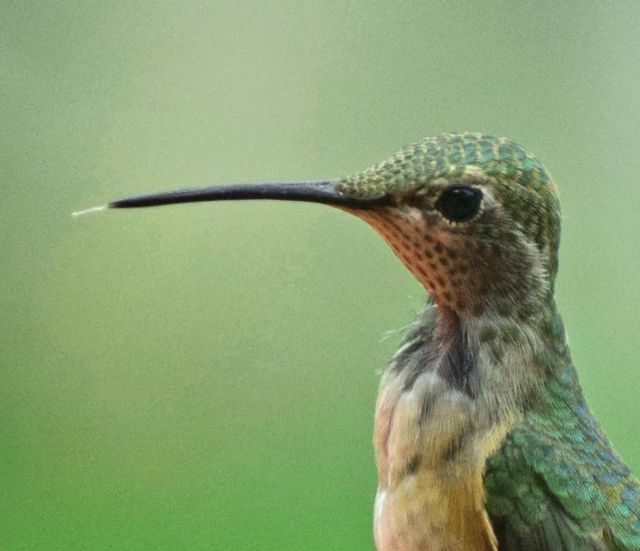 Male calliope hummingbirds have dark collars.