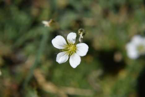 alpine sandwort
