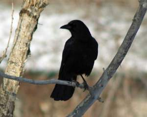 "This crow made to most un-crow-like ""B'Dong! B'Dong!"" call. Some people felt it sounded more like ""Hello! Hello!"