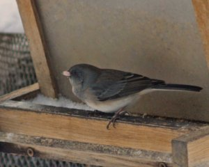 Dark-eyed juncos come in many different plumages. You know that they are dark-eyed juncos, though, because they have dark eyes, and they have a yellow beak.