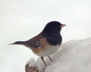 This dark-eyed junco looks more like the next bird, a Rufus-sided towhee than the previous junco. But compare the beaks.