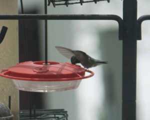 Storm hummingbird-12
