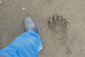 My size 7 woman's boot next to a grizzley bear footprint.