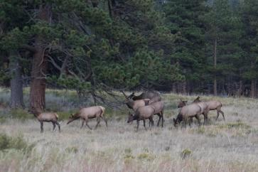 Harem of cow elk.
