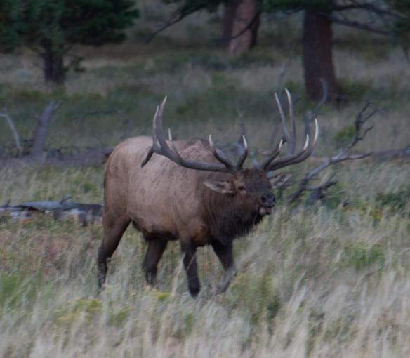 Bull elk herding his harem.
