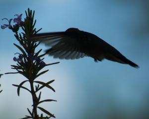 Calliope hummingbird & rosemar-03_edited-1