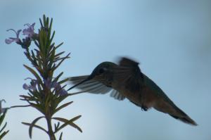 Calliope hummingbird & rosemar-05_edited-1