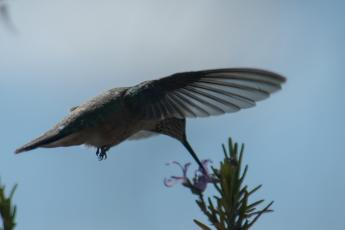 Calliope hummingbird & rosemar-09_edited-1