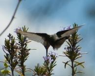 Calliope hummingbird & rosemar-14
