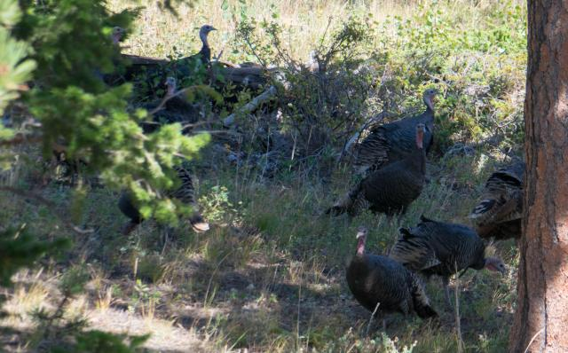 Wild turkey hens under ponderosa pine forest.