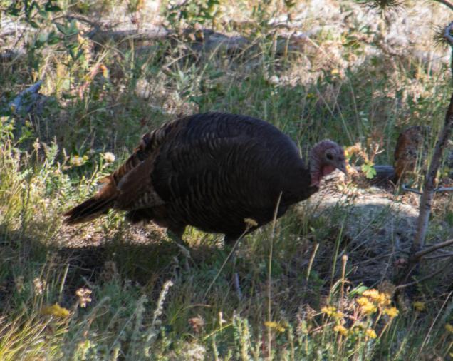 Wild turkey hen.
