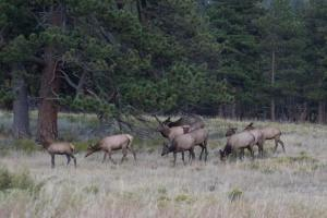 Elk harem in Beaver Meadows.