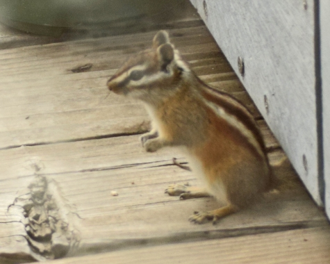 A chipmunk showed up on my back porch recently.