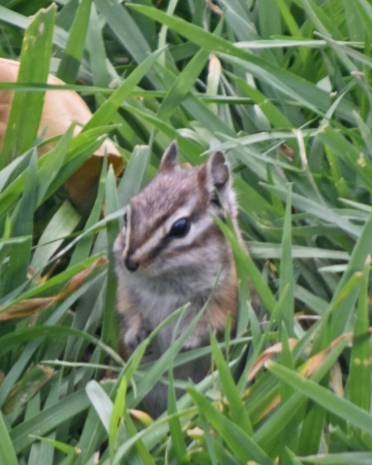 A suburban lawn doesn't offer the seeds or nuts that a chipmunk eats. Nor does it offer bare ground in which a chipmunk caches its food.