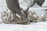 Backyard deer in snow-08-1