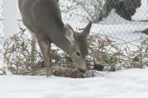 Backyard deer in snow-08-1