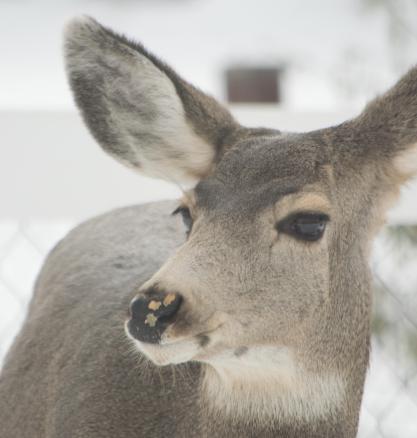 Backyard deer in snow-09-1