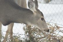 Backyard deer in snow-10-1