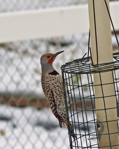 Red-shafted flicker copy-1