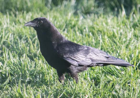 foraging crow-14