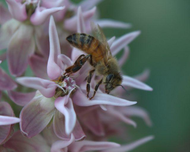 bee caught in mikweed closeup