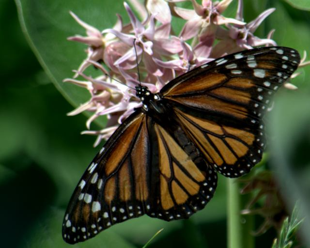 monarch on milkweed (9) -1